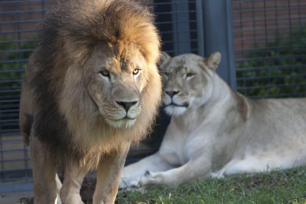 George H. Carroll Lion Habitat